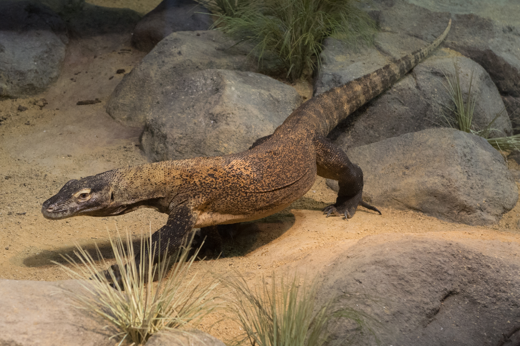 Bronx Zoo  Opens Komodo Dragon Exhibit in Zoo Center @theBronxZoo